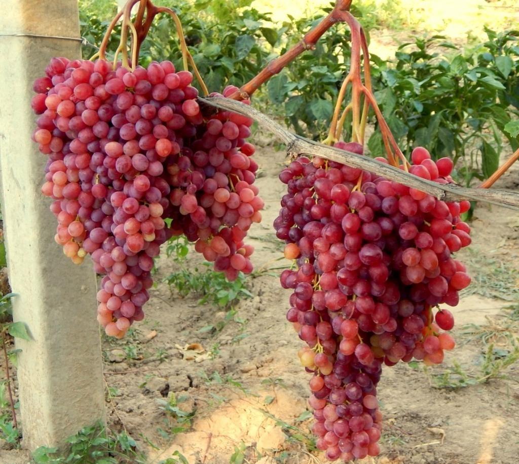 Гроздья винограда Велес
