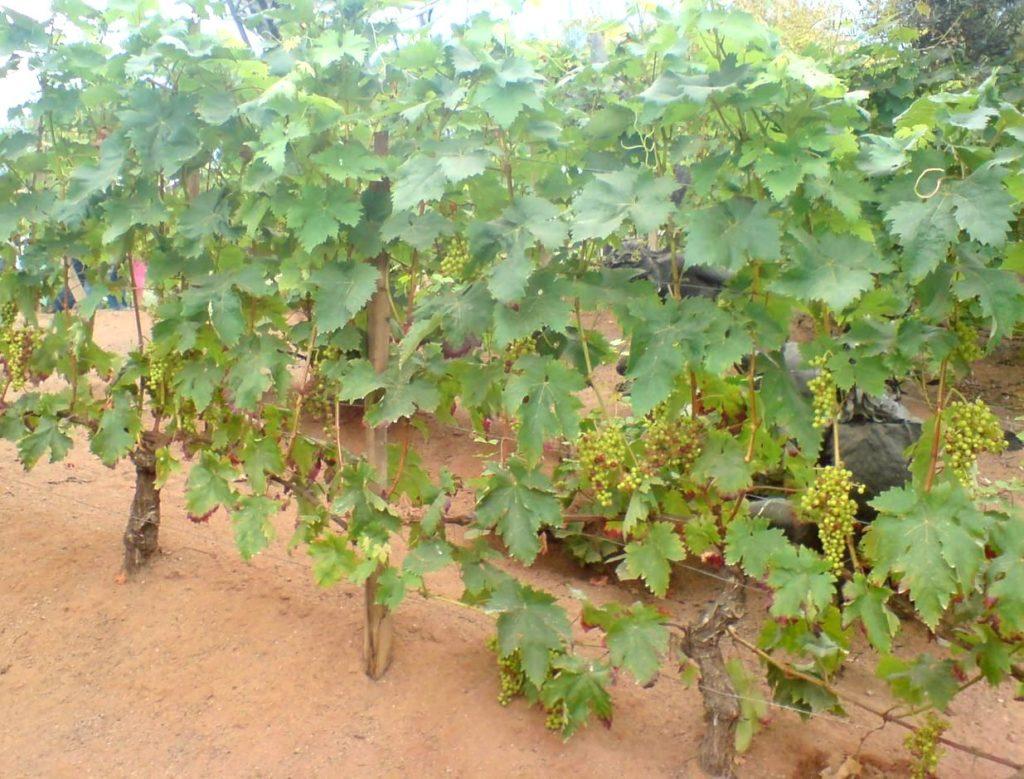Кусты винограда Велес