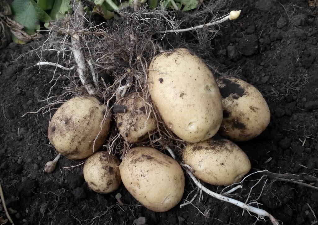 Подготовка семенного материала картофеля к посадке