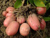 огромный урожай картофеля