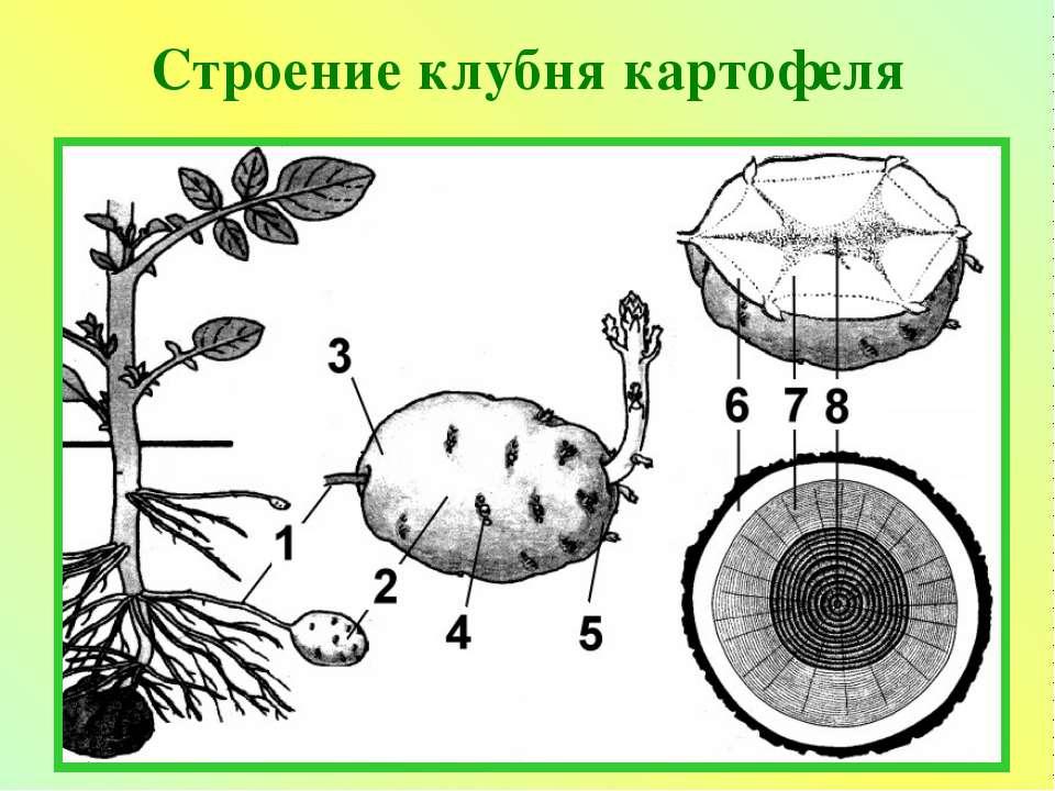 Схема строения клубня картофеля