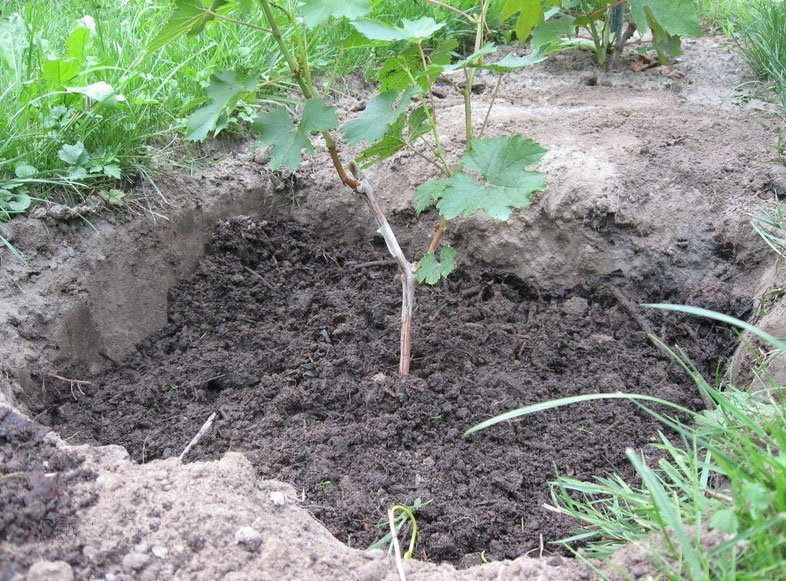 Посаженный виноград на участке