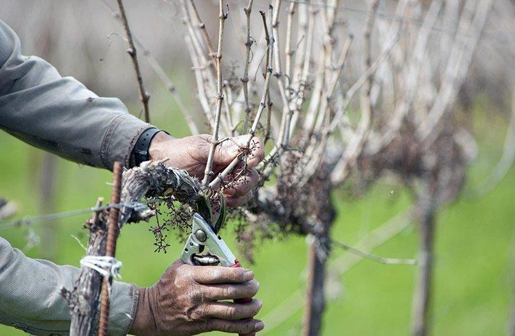 Садовник обрезает виноградные лозы