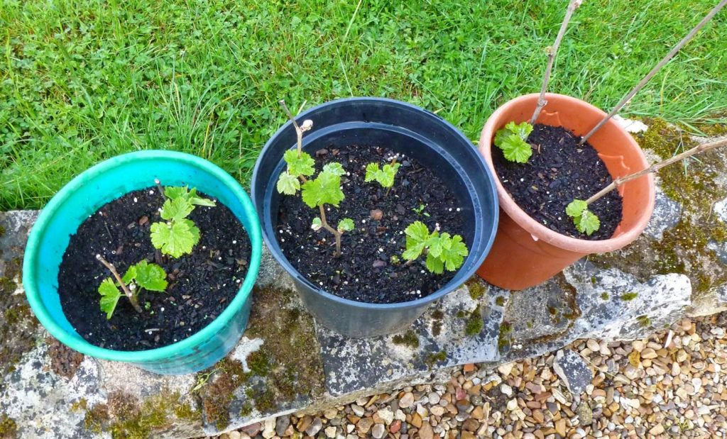Саженцы винограда в вёдрах