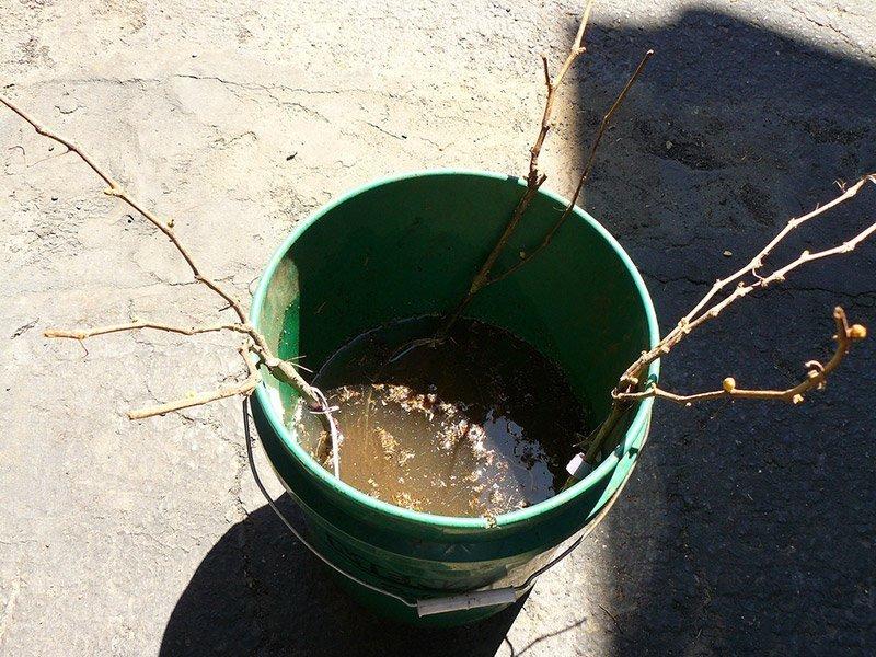 Саженцы винограда в воде