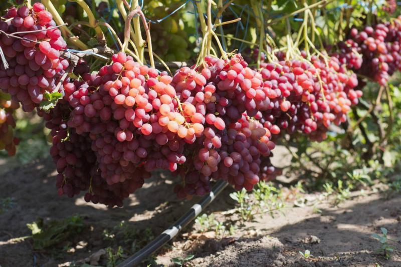 Виноград сорта Велес