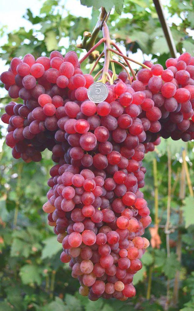 Виноградная гроздь Велеса в сравнении с монетой