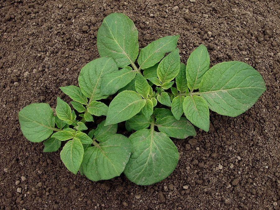 всходы картофеля