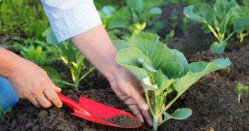высаживание капусты в грунт