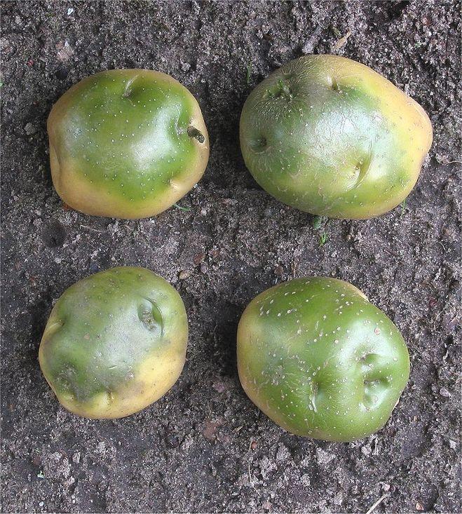 зелёные клубни картофеля