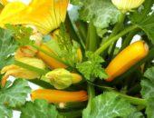 Жёлтоплодные кабачки