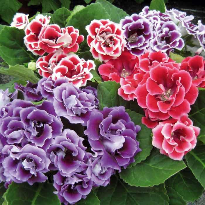 Цветение глоксинии
