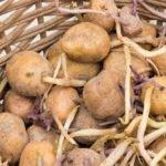 Картофель пророс