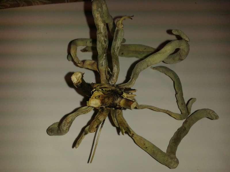 Орхидея без корней и листьев