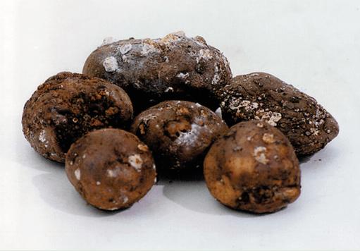 Загнивший картофель