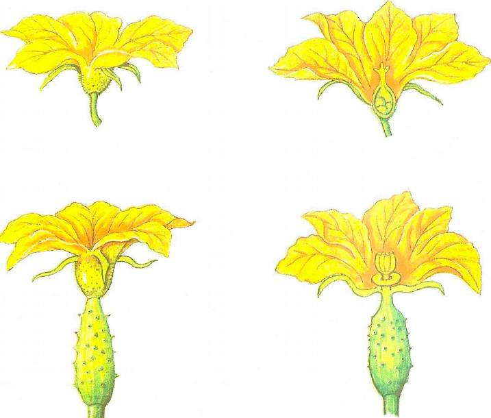 Женские и мужские цветки огурцов