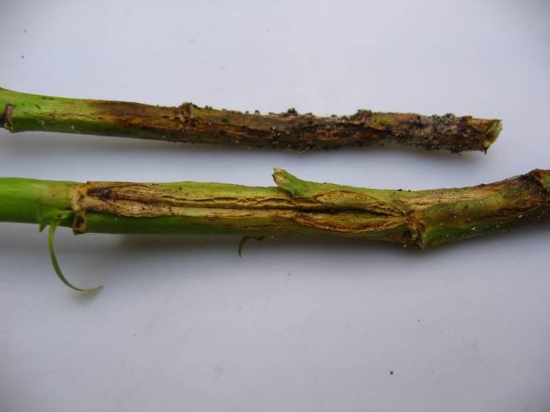 Фомоз на стеблях картофеля