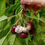 серая гниль на созревающих плодах