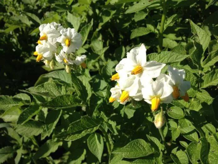 Цветки картофеля сорта Импала