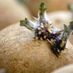 Ростки картофеля с корневыми бугорками
