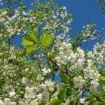 Ветви вишни