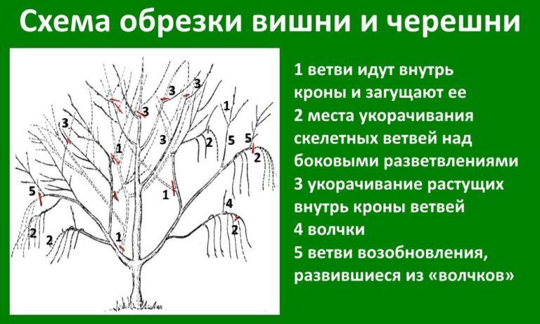 Как сажать вишню весной пошаговая инструкция 71