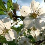 Цветы вишни Владимирская
