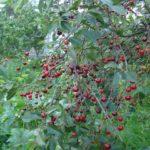 Урожай Владимирской