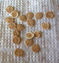 Семена кроссандры
