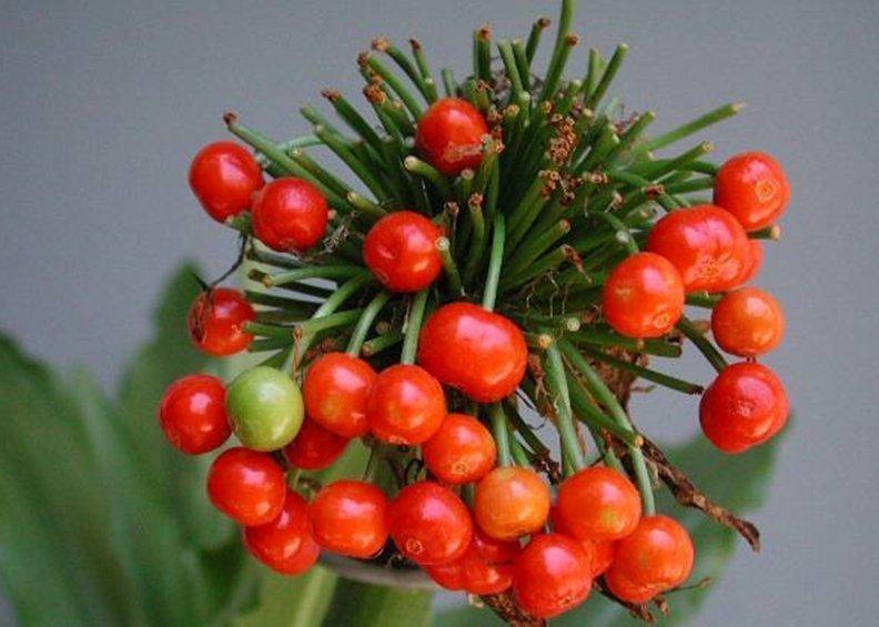 Плоды гемантуса при хорошем уходе