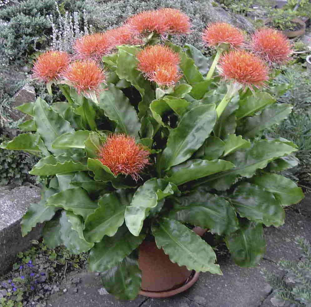 Уход за гемантусом белоцветковым в домашних условиях