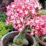 Адениум Многоцветковый