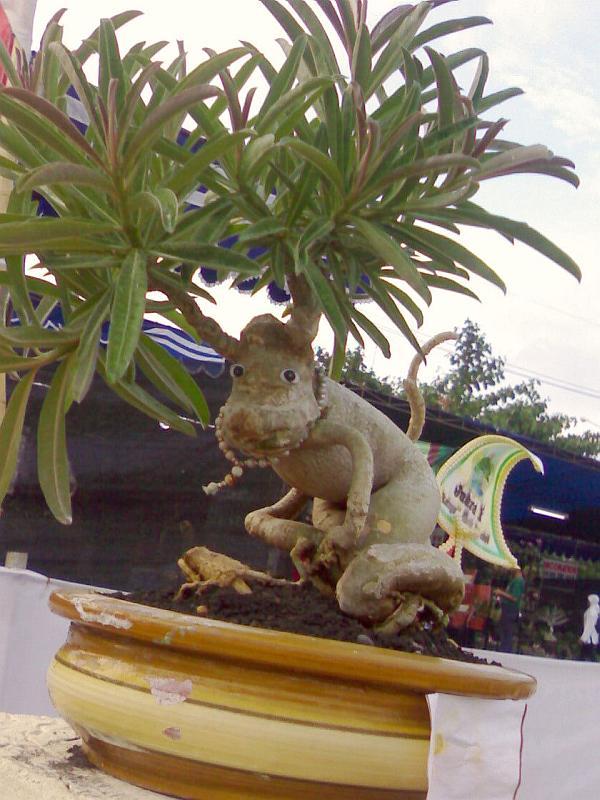 Адениум-обезьянка