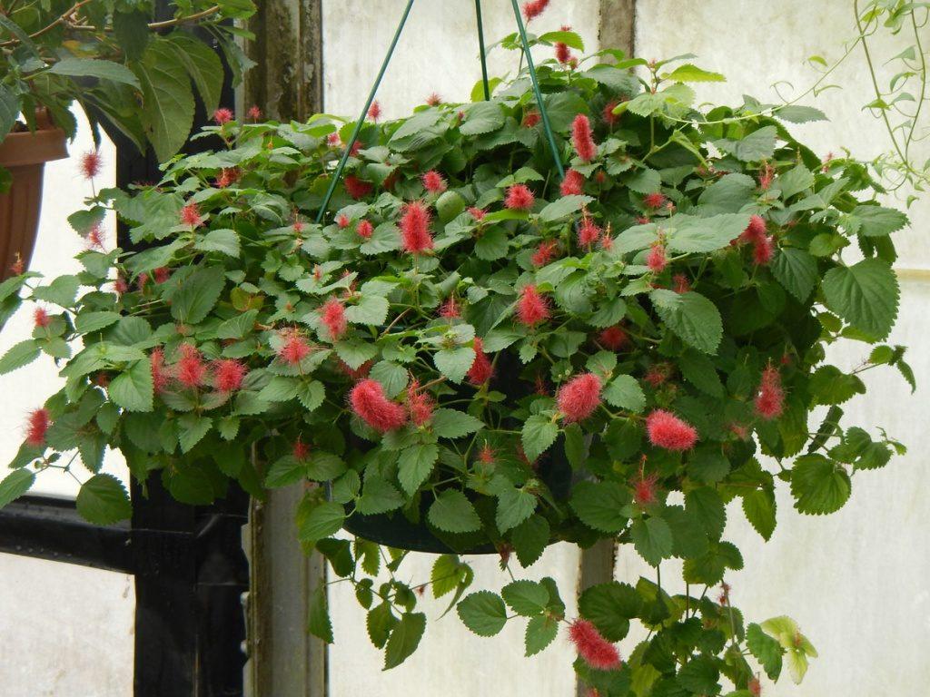 Цветок акалифа дубравиколистная: уход в домашних условиях, фото