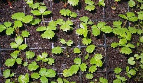 Альбион — размножение семенами