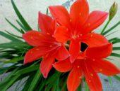 Аленький цвветочек