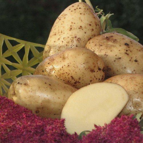 Картофель сорта Аннушка