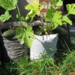 Выращивание кабачков в мешках