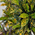 Листья аукубы японской