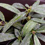 Листья аукубы гималайской