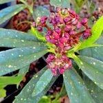 Цветы аукубы гималайской