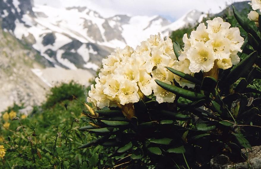 Азалия в природе