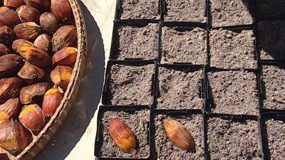 Высадка семян пандануса