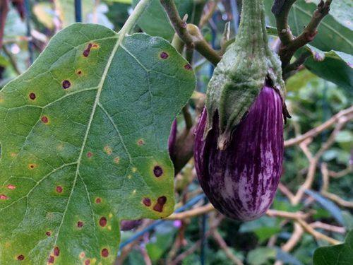 Основные болезни баклажан и рассады