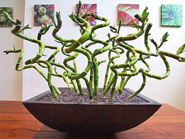 Бамбук счастья, выращиваемый в земле