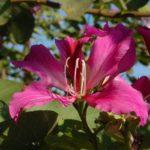 Баухиния пурпурная