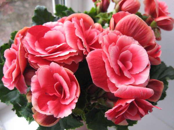Бегония с розово-красными цветами
