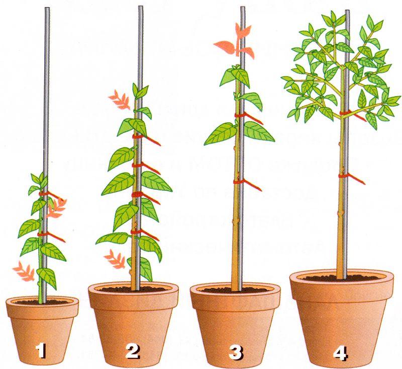 Формирование штамбового деревца из белопероне