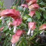 Белопероне розовая