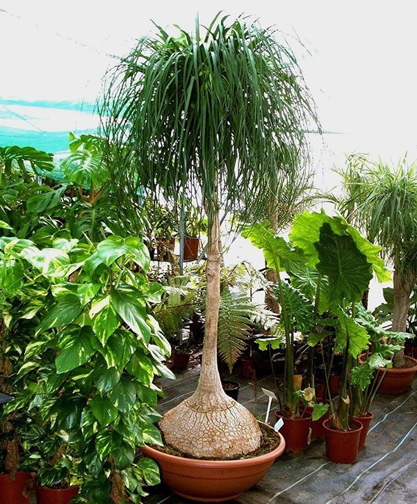 Бокарнея в оранжерее